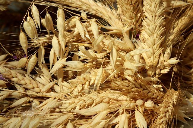 pšeničné klasy s ovsem.jpg